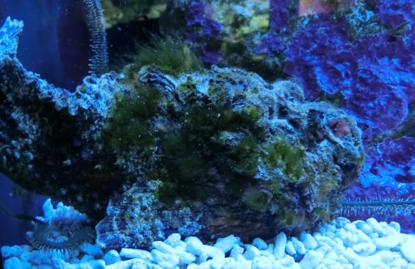 Der Steinfisch ist nur, wenn er sich bewegt, zu entdecken