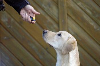 Der zukünftige Assistenzhund lernt einen Knopf zu drücken