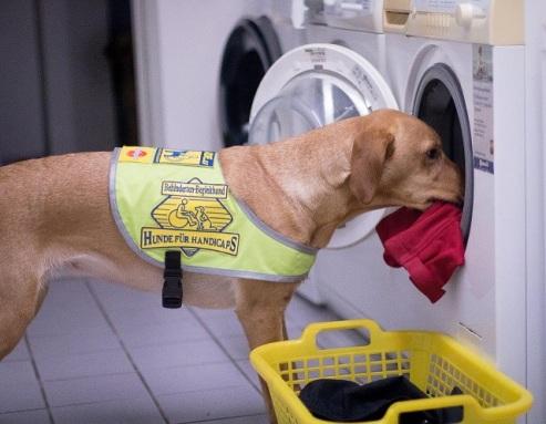 Der zukünftige Assistenzhund lernt, Wäsche in die Waschmaschine einzuräumen